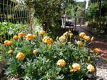 Marigolds - Neveni - Tagete